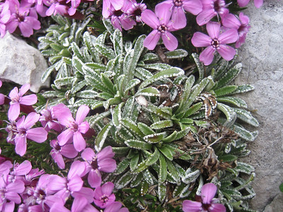 Silene acaulis and Saxifraga crustata (Bärental, Karawanken)