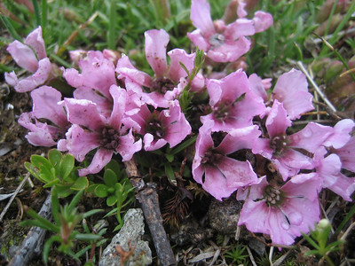 Saponaria pumilio (Koralpe, on the border between Carinthia and Styria)