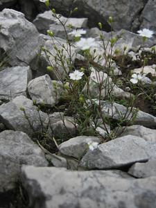 Silene pusilla or Silene alpestris (Hochobir, from Eisenkappler Hütte)