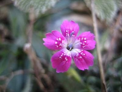 Dianthus? (Mount Ossa)