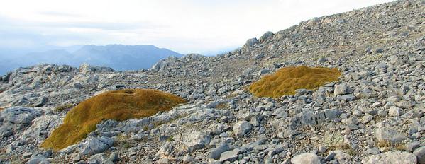 Minuartia stellata (Mt. Killini)