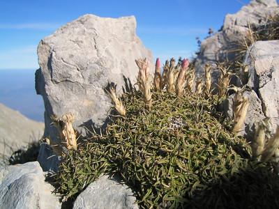 Dianthus haematocalyx, photograph by Marijn van den Brink (Mount Parnassos)