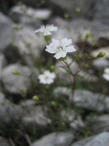 Arenaria ciliata or Minuartia sedoides?? (Hochobir, from Eisenkappler Hütte)