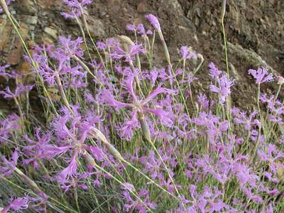 Dianthus spec. (just NW of Kumluca SW Turkey)
