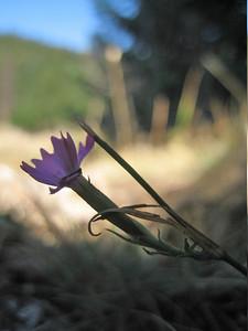 Dianthus spec.??? (north of Arachova, between juction and ski area, Mount Parnassos)