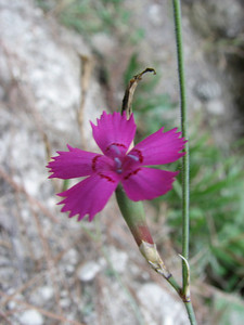 Dianthus zonatus (between Fethiye and Gölhisar, SW Turkey)