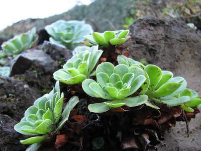 Aeonium spec, very unusual, which species/ hybrid??? (between Las Cañadas and La Orotava)