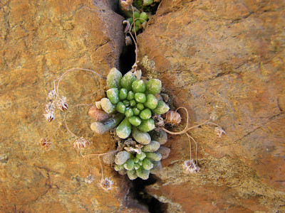 Monanthus niphophila? (near El Portillo, Las Cañadas del Teíde)