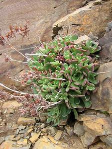 Rosularia spec., photograph by Marijn van den Brink