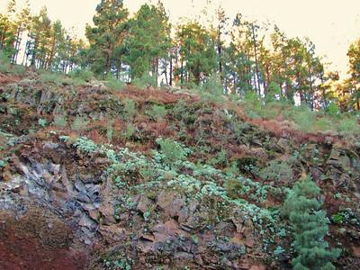 Habitat of Greenovia aurea (between Las Cañadas and La Orotava)