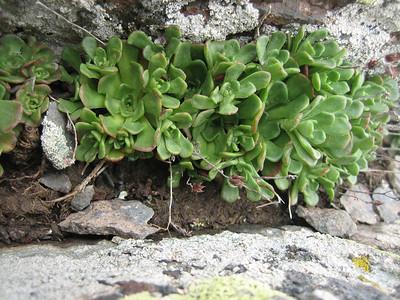 Rosularia spec. (north of Çat, Palandöken)
