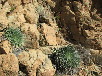 Echium wildpretii ssp. wildpretii and Aeonium spathulatum (near El Portillo, Las Cañadas del Teíde)