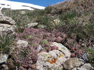 Sempervivum davisii ssp. furseorum (photograph by Marijn van den Brink)