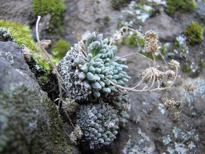 Monanthes spec. (between Las Cañadas and La Orotava)