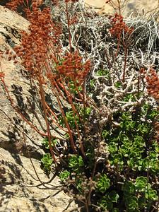 Aeonium spathulatum (near El Portillo, Las Cañadas del Teíde)