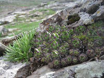 Sempervivum davisii, note the hairy leaves (between Ardahan and Kars)