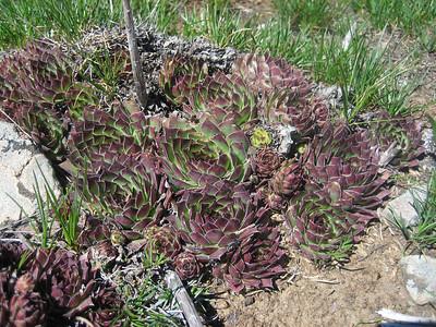 Sempervivum armenum var. armenum (Kostandag Geçidi)