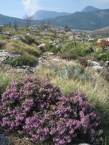 Erica manipuliflora (Mani Peninsula)