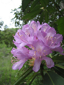 Rhododendron ponticum (forest near Murgul)