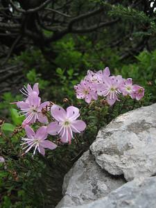 Rhodothamnus chamaecistus (Bärental, Karawanken)