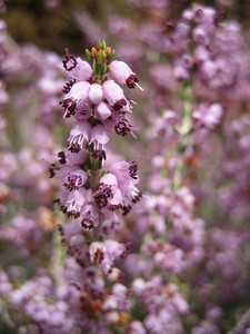 Erica manipuliflora (north of the Omalos Plateau, foothills of the White Mountains)