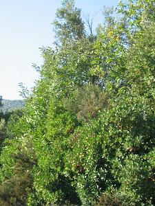 Arbutus unedo (Pilion)