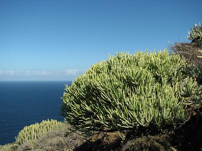 Euphorbia aphylla or Ceropegia dichotoma? (east of Punta de Teno, northwest Tenerife)
