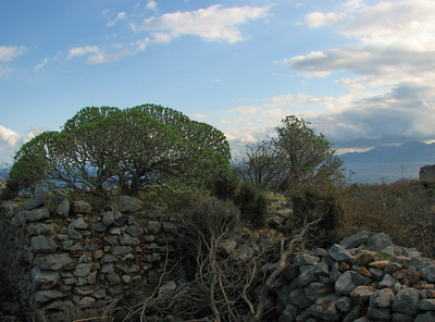 Euphorbia dendroides (Monemvasia)