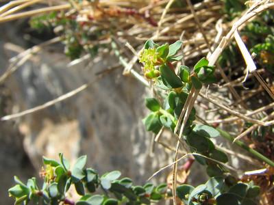 Euphorbia herniariifolia (Mt. Killini)