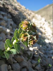 Euphorbia spec. (Kop Geçidi)