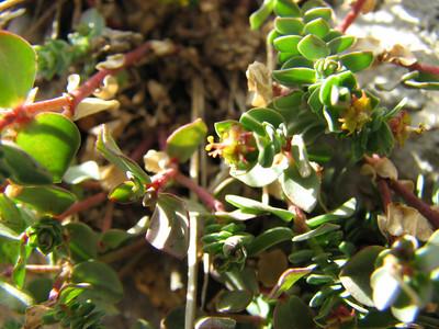 Euphorbia spec.????????? (Mt. Killini)