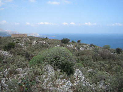 Euphorbia dendroides (near Ancient Aptera, 15km east of Chania)