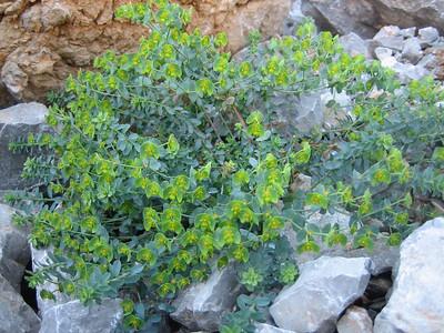 Euphorbia spec. (north of Arachova, between juction and ski area, Mount Parnassos)