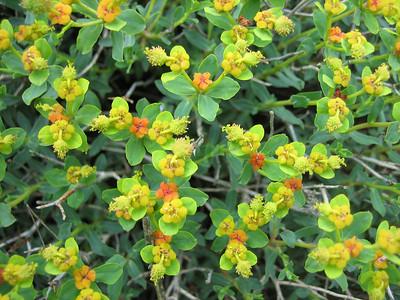 Euphorbia spinosa, photograph by Marijn van den Brink