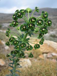 Euphorbia characias (somewhere SW of Hersonissos)