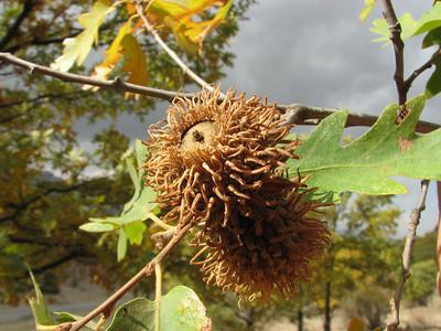 Quercus cerris ssp. cerris (Between Besehir and Akseki, Konya Province)