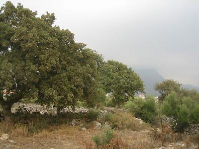 Quercus spec. (near Areopoli)