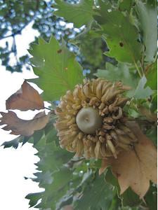 Quercus aegilops (south of Mistras)