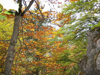 Fagus sylvatica (between Refuge A and Prionia, Mount Olympus)