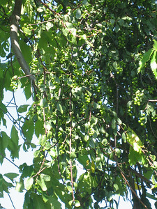 Loranthus europaeus on Castanea sativa (lower slopes of Mount Ossa)