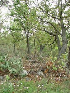 Cyclamen hederifolium ssp. confusum under Quercus spec. (north of Areopoli)