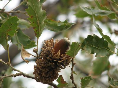 Quercus spec.?? (north of Areopoli)