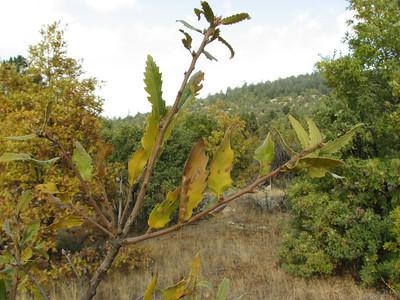 Quercus spec. (Between Besehir and Akseki, Konya Province)