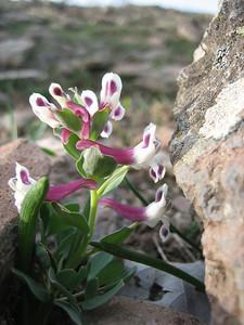 Corydalis nariniana (near Çamlıbel Geçidi, 2640m)