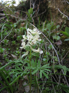 Corydalis angustifolia (near Savsat)