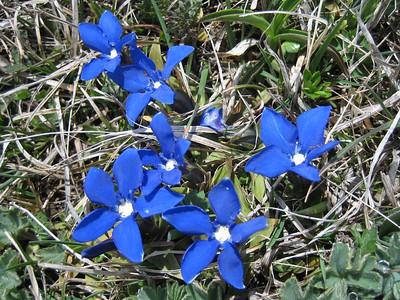 Gentiana verna ssp. pontica (east of Çamlıbel Geçidi, 2640m)