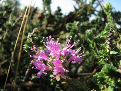 Coridothymus capitatus (Between Areopoli and Kalamata, Mani Peninsula)