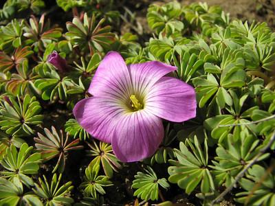 Oxalis adenophylla, near Bariloche Airport