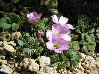 Oxalis adenophylla, Cerro Cathedral
