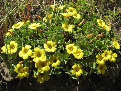 Oxalis nahuelhuapiensis